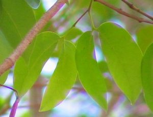 Blad van een Jatoba-boom